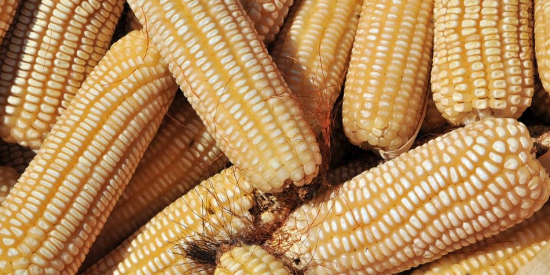 Kenya's Ban Of Uganda's Maize Has Put East African Integration  To Test.
