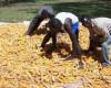 Aflatoxin Bill Hangs In Balance As Tanzania Delays Its The Ratification.